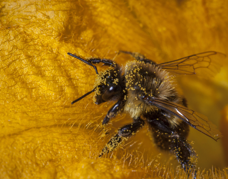 Laden with pollen, a common eastern bumblebee emerges from a squash flower. (Photo: Kent McFarland/Creative Commons)